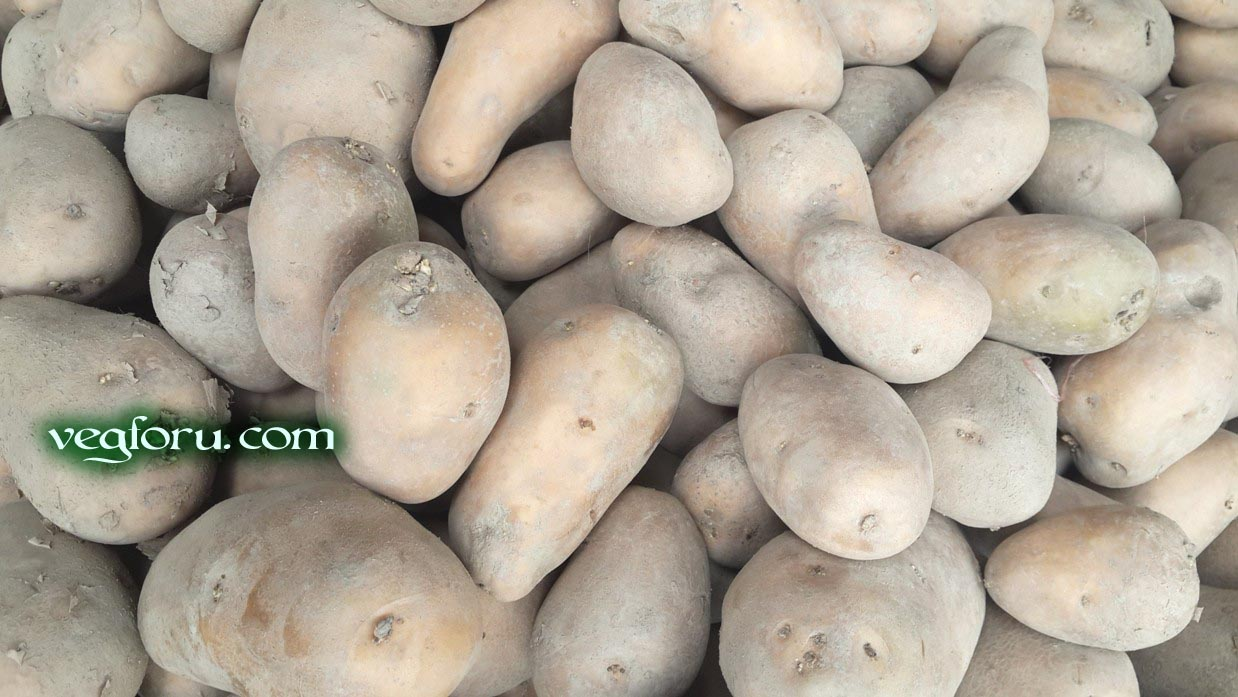 The vegetable potato known as Aloo